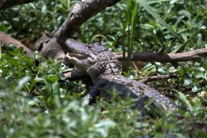 Cajun Country Gator on Bayou Black