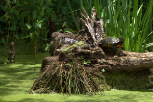 Gator and A Turtle Hiding in plain sight