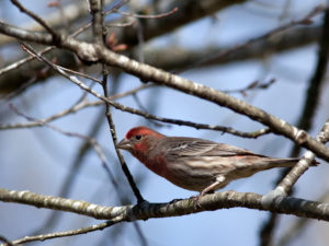 A House Finch in the back yard.