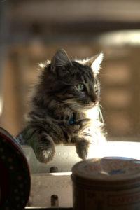 Zero the cat peering through the kitchen window